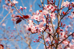 Tender sakura blossom, closeup of branch with pink and white flowers and red foliage, bright blue sky Stock Photos
