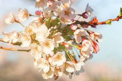 Tender Sakura cherry tree flowers blossom spring sunny day. Tender Sakura or cherry tree flowers blossom in spring on natural background in a sunny day royalty free stock image