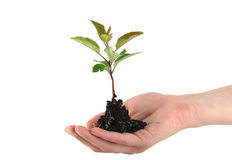 Tender sapling. A tender spaling in front of white background Stock Image