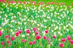 Tender scarlet tulips in springtime Stock Photo