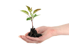 Tender seedling Royalty Free Stock Image