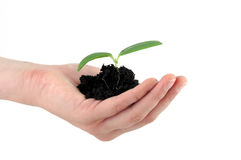 Tender seedling. In front of a white background Stock Photo