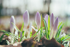 Tender shoots of crocus flowers by early springtime Stock Images
