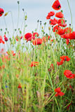Tender shot of red poppies Stock Images