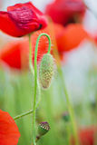 Tender shot of red poppies Stock Photography