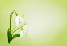 Tender snowdrops Royalty Free Stock Photography