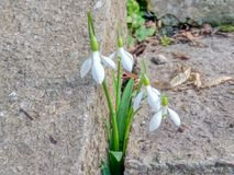 Tender snowdrops made their way through the concrete towards the spring royalty free stock photography