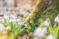 Tender snowdrops in the spring forest on a sunny day. Beautiful. Spring background with copy space. Processing photo with soft focus Stock Photography