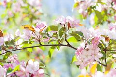 Tender spring floral nature garden landscape. Blossoming fruit tree branch, pink petal flowers fresh green leaves in the Stock Photography