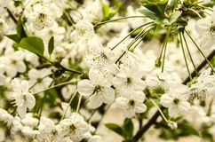 Tender spring flowers of cherry tree Royalty Free Stock Photo