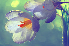 Tender spring flowers. In dew drops Royalty Free Stock Images