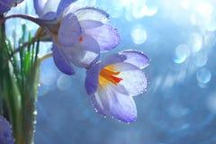 Tender spring flowers. Near wet window Royalty Free Stock Image