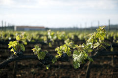 Tender spring grape vines. A closeup of grapevines beginning to show early spring growth and leaves at a large vineyard Stock Photos