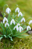 Tender spring snowdrops Stock Photos