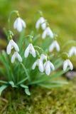 Tender spring snowdrops Stock Photos