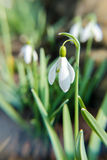 Tender spring snowdrops Royalty Free Stock Images