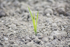 Tender sprout  in the ground Royalty Free Stock Image
