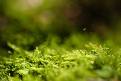 Tender sprout in the moss Royalty Free Stock Photos