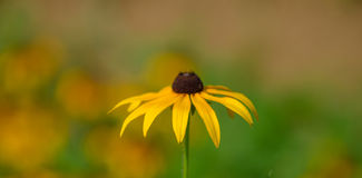 Tender Sunflower. Sunflowers in summer sunshine, very beautiful, hazy feeling, bright colors Stock Photography