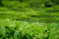 Tender tea leaves Royalty Free Stock Photos