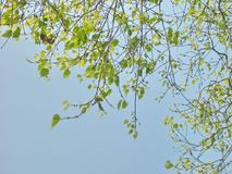 Tender. Leaflets and branches under blue sky Royalty Free Stock Image