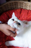 Tender touch of a kid's hand to a white cat's head Royalty Free Stock Image