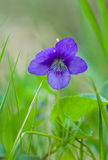 Tender violet viola on  grass backgroung Stock Photo
