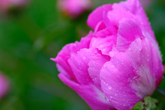 Tender wet peony. Good quality close up photo of a tender peony flower: large opened blossom with bright pink with white streaks petals. The picture was made Stock Image