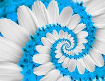 Tender white blue flower swirl camomile daisy kosmeya flower spiral abstract fractal effect pattern fractal background. Twisted. Blue pastel flower spiral twirl Royalty Free Stock Photo