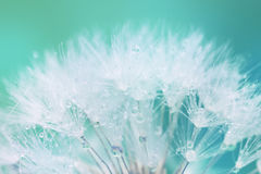 Tender White Dandelion seed with water drops Stock Photos
