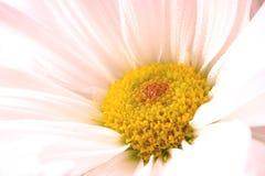 Tender white flower, macro view. Close up photo of beautiful chrysanthemium flower: tender pure white flower, light thin petals and bright yellow pistils, soft Stock Image