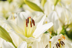 Tender white lily flower closeup. Macro lily bloom Stock Image