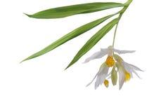 A tender white orchid. A tender white orchid  isolated on white background Stock Image