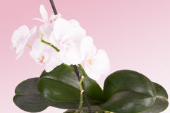 Tender white orchid Stock Photography