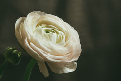Tender white ranunculus flower Stock Image