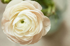 Tender white ranunculus flower Stock Photo