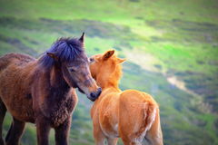Tender wild horses. Wild adult horse and a little red colt tender favors,idyllic emotional scene Stock Photos