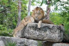 Tender wildlife moment with lions Royalty Free Stock Photo