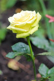 Tender yellow rose Royalty Free Stock Images