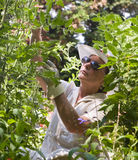 Tendere i pomodori fotografia stock libera da diritti