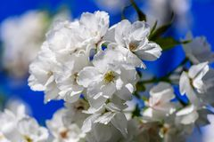 Tenderly white flowers of an apple tree on a blue sky background. Tenderly white flowers of an apple tree on a blurred, blue sky background of a spring sky Royalty Free Stock Images