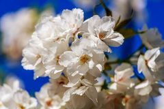 Tenderly white flowers of an apple tree on a blue sky background. Tenderly white flowers of an apple tree on a blurred, blue sky background of a spring sky Stock Photo