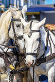 Tendernes de chevaux blancs Photos stock