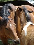 Tenderness. Mother and foal grooming each other Royalty Free Stock Image