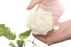 Tenderness. Female hands holding a tender white rose bud. Health & tenderness concept stock photography