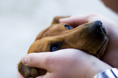 Tenderness. The duchshund puts the head in hands of the owner Royalty Free Stock Images