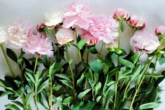 Tenderness bouquet of pink and white peonies Stock Photos
