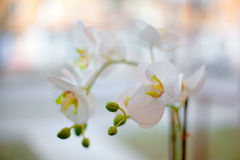 Tenderness. Branch of a white orchid on an indistinct background Royalty Free Stock Image