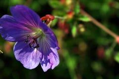 Tenderness. Detail of tendre blue bloom stock images