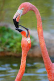 Tenderness of a flamingo. Kiss of two enamoured flamingos close up Royalty Free Stock Photos